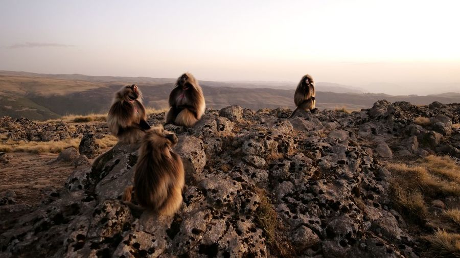 Simien Mountains Gelada Gelada Monkey Animals In The Wild Simien Mountains National Park Ethiopia Africa Sunset Togetherness Sea Vulture Sky Landscape Baboon Monkey Primate The Great Outdoors - 2019 EyeEm Awards The Photojournalist - 2019 EyeEm Awards
