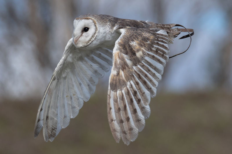 Close-Up Of Barn Owl Flying Outdoors
