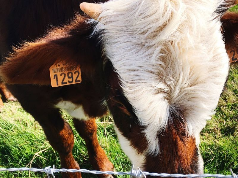 Domestic Animals One Animal Animal Themes Livestock Mammal Domestic Cattle Cattle No People Cow Day Close-up Grazing Outdoors Pets Highland Cattle Grass
