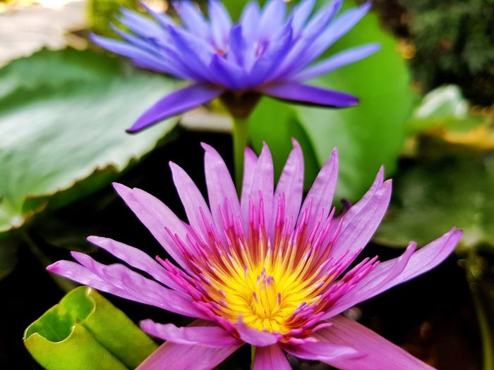 Close up of pink lotus flower Pink Purple Green Leaf Pond Flower Flora Floral Nature Flower Head Flower Water Lotus Water Lily Passion Flower Springtime Water Lily Petal Purple Floating On Water Pollen Plant Life Lotus Blooming In Bloom Botany Blossom