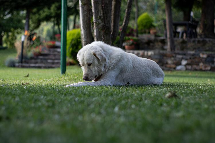 White dog relaxing on land