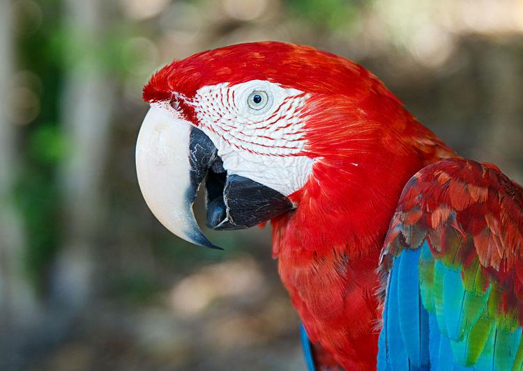 macaw II , cayo