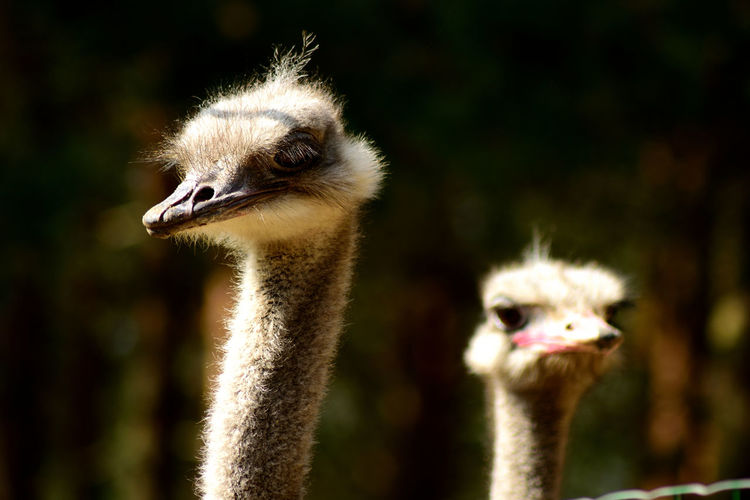 Animal Themes Animal Wildlife Animals In The Wild Beak Best Friend Best Friends Bird Close-up Crane - Bird Day Enjoying Life Eye EyeEmNewHere Focus On Foreground Friendship Nature No People Ostrich Outdoors Paarshpi Pair Portrait Two People Long Goodbye