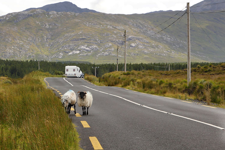 Grass Green Home Ireland Road Tranquil Transportation Travel Travelling Trip Animals Caravan Irish Landscape Livestock Mammal Mobile Mobile Home Mountains Outdoors Road Sheep Two Two Animals Vehicle
