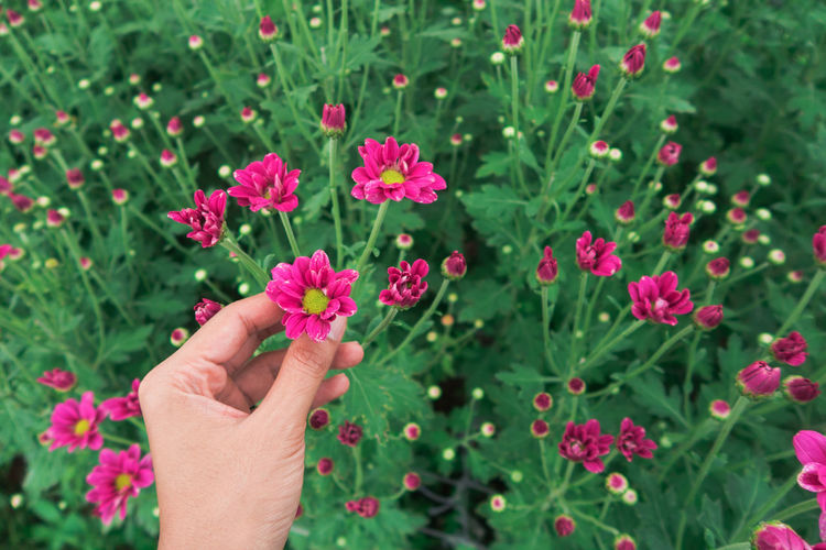 Midsection of person holding pink flowering plants