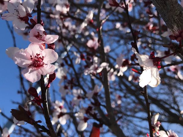 Spring blossoms EyeEm Selects Flower Fragility Blossom Branch Springtime Tree Petal Botany Freshness Nature Flower Head No People Day Plum Blossom Twig Low Angle View Growth Beauty In Nature Close-up