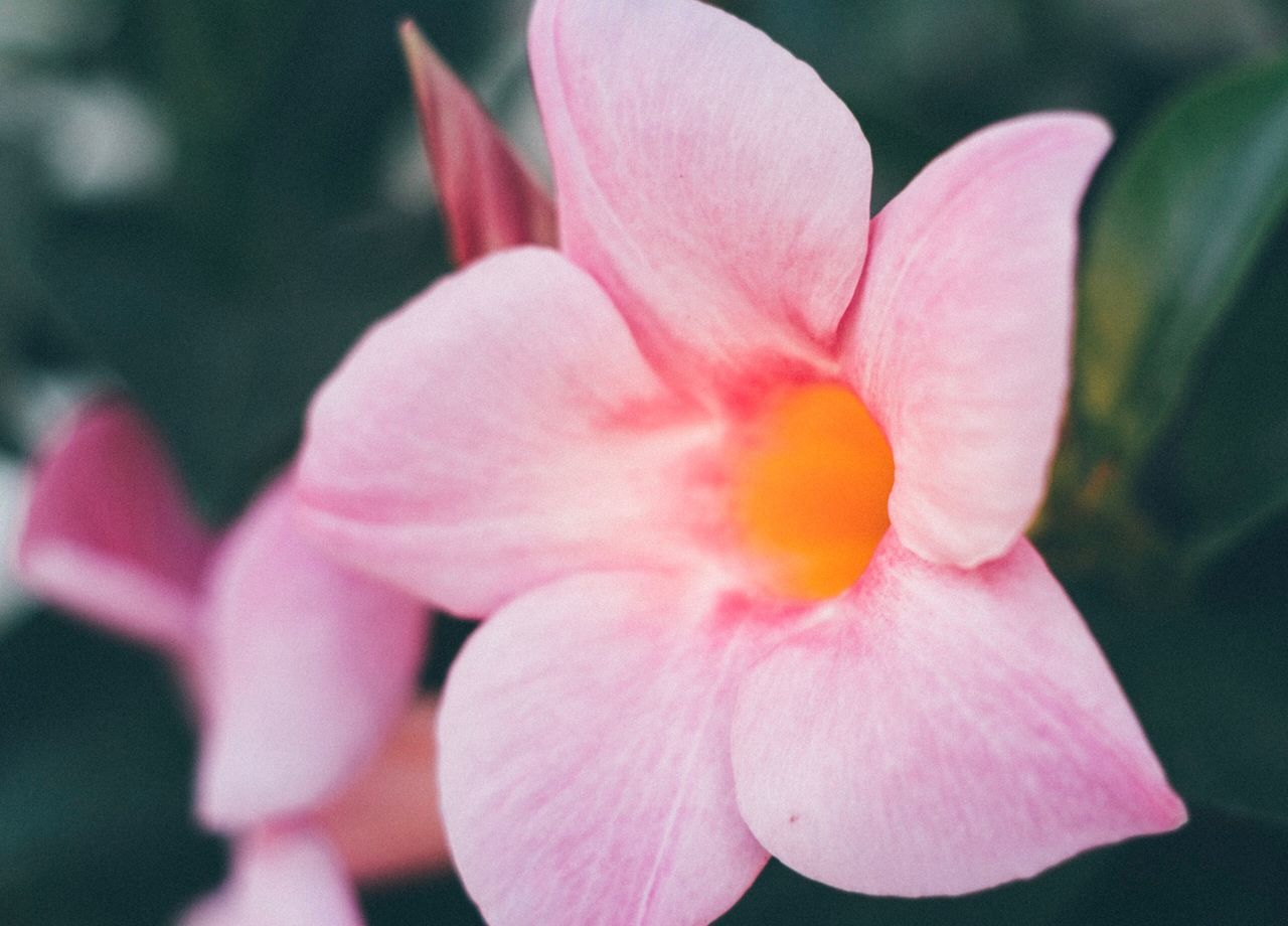 flowering plant, flower, petal, vulnerability, fragility, freshness, beauty in nature, inflorescence, flower head, plant, close-up, pink color, growth, nature, no people, focus on foreground, day, selective focus, outdoors, pollen