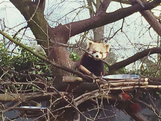 Red Panda Day Out Chester Zoo