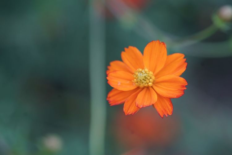 Left alone Golden Cosmos Sulfur Cosmos Cosmos Flower Masako201809 Nofilternoedit Micronikkor105mmf2.8 Lost Loneliness Left Alone Flowering Plant Fragility Flower Vulnerability  Petal Freshness Beauty In Nature