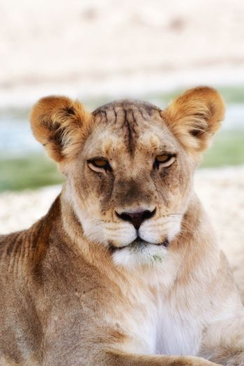 Wildlife Photography African Safari Wildlife & Nature Kgalagadi Transfrontier Park EyeEm Best Shots - Nature EyeEm Nature Lover EyeEm Best Shots Lion Animals In The Wild Animal Themes One Animal Wildlife Mammal Focus On Foreground Relaxation Lioness