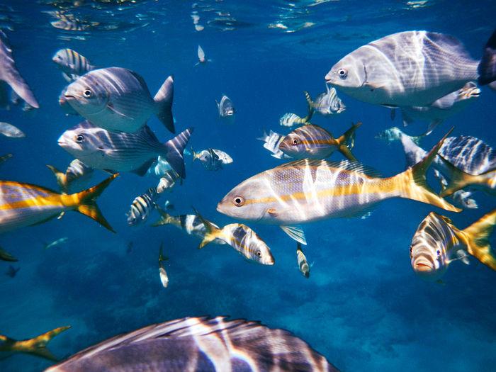 Yellow snapper fish swimming in sea