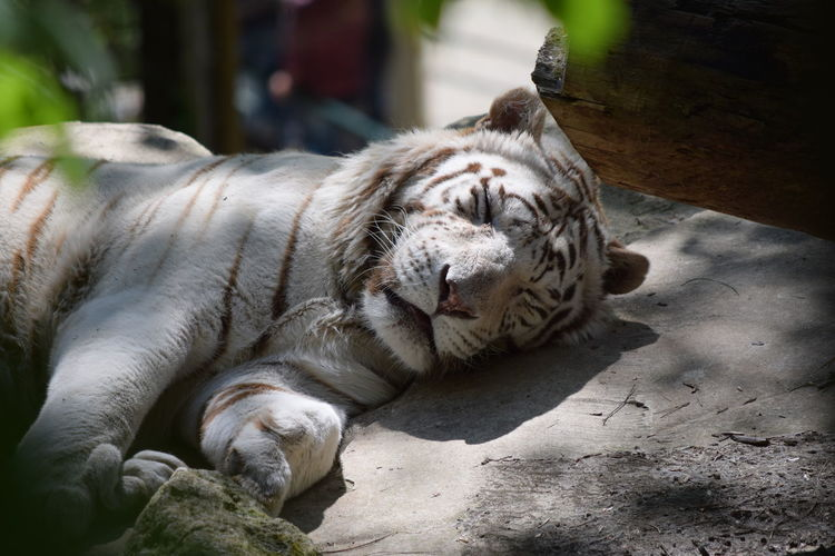Close-up of tiger sleeping