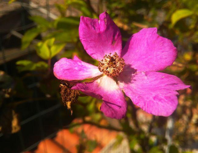 my garden Flower Head Flower Pink Color Petal Purple Beauty Close-up Plant Pollen Osteospermum Passion Flower