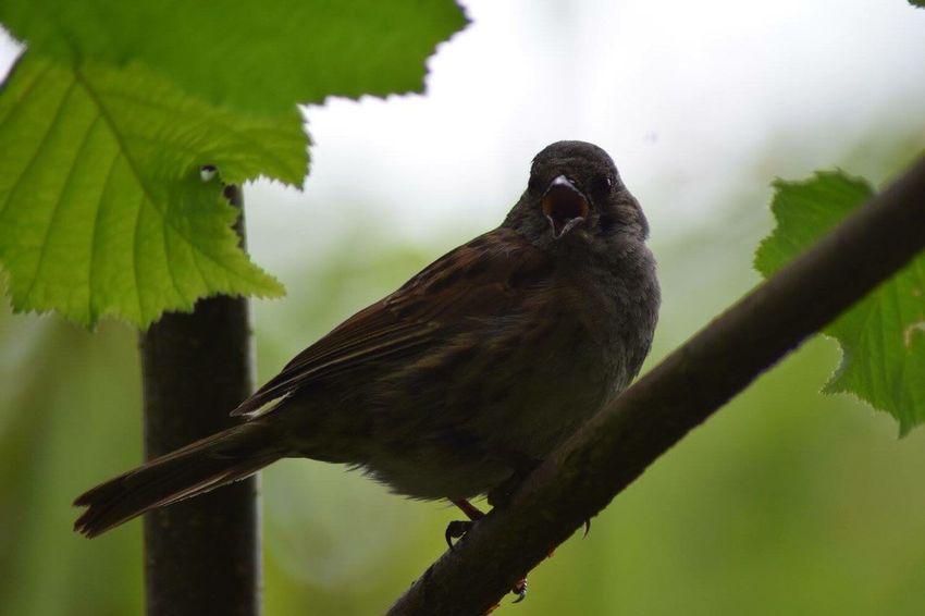 Baby Bird Bird Singing Birds In Trees