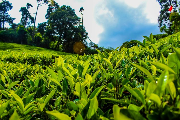 Tree Nature Agriculture Growth Green Color Leaf Plant Rural Scene Outdoors Beauty In Nature Day No People Sky Landscape Scenics Freshness Tea Crop MunnarHillstation Munnardiaries Beauty Of Nature Morning Nature Photography Internationalart CreativePhotographer Artistic
