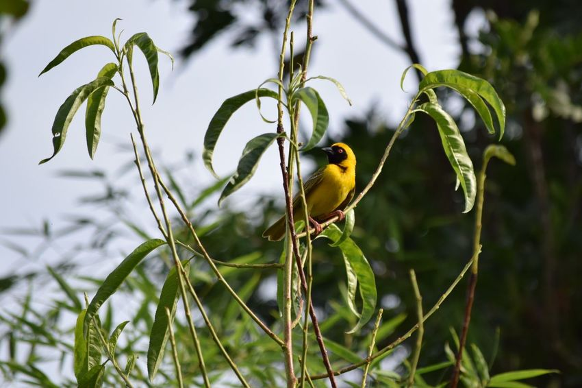Yellow finch One Animal Animals In The Wild Bird Animal Themes Animal Wildlife Yellow Nature Focus On Foreground Perching No People Day Beauty In Nature Outdoors Close-up Tree South Africa Is Amazing South Africa Hartebeespoort Harties