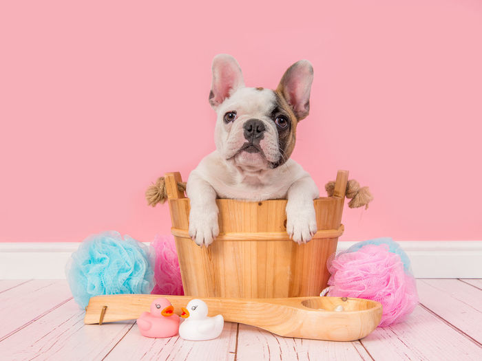 Cute french bulldog puppy in a wooden sauna bucket in a pink bathroom setting facing the camera Cute Pets French Bulldog Puppy Pink Sauna Animal Themes Bath Room Bathroom Bulldog Cute Dog French Bulldog Pets Pink Color Puppy Studio Shot Wooden Basket