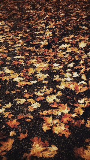 Only autumn leaves on the asphalt.... Autumn Change Leaf Leaves Nature Backgrounds Abundance Maple Fallen Maple Leaf Outdoors Tranquility Beauty In Nature Scenics