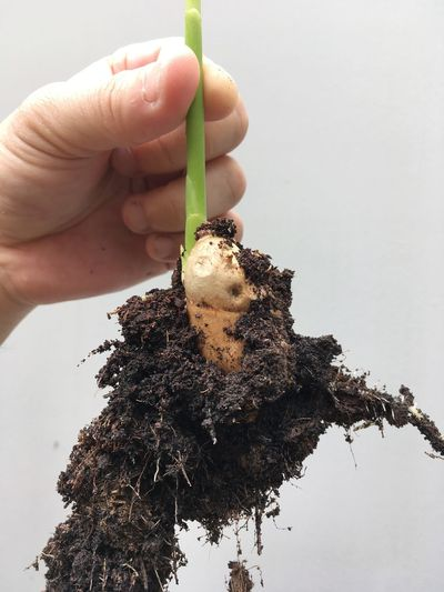 Roots Underneath Underneath The Problem Underneath The Trees Root Cause Iceberg Root Root Vegetable Ginger Head Ginger Hand Plant Holding Tree First Eyeem Photo