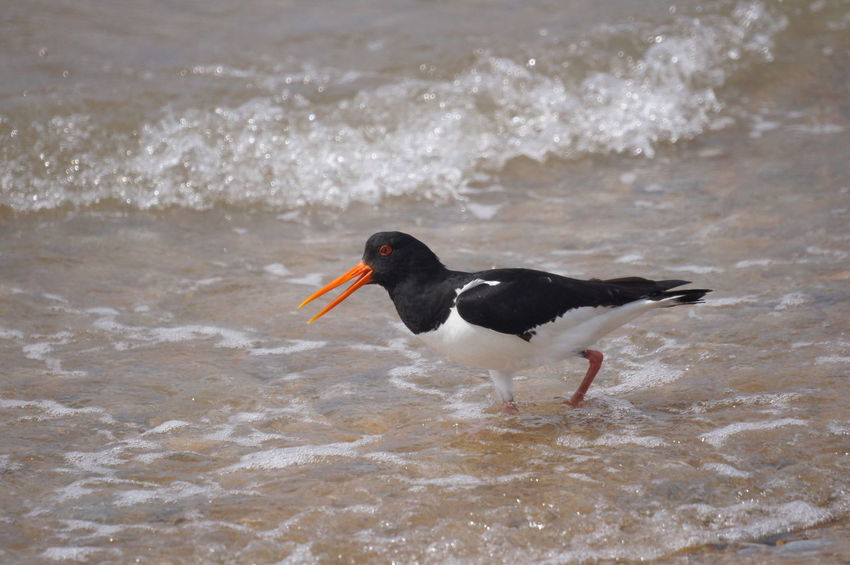 oyster catcher searching for food Alone Animal Themes Beak Openm Bird Black And White Bird Day Long Beaked Bird Nature No People One Animal Outdoors Oyster Catcher Red Beak Sea Water Waves Rolling In