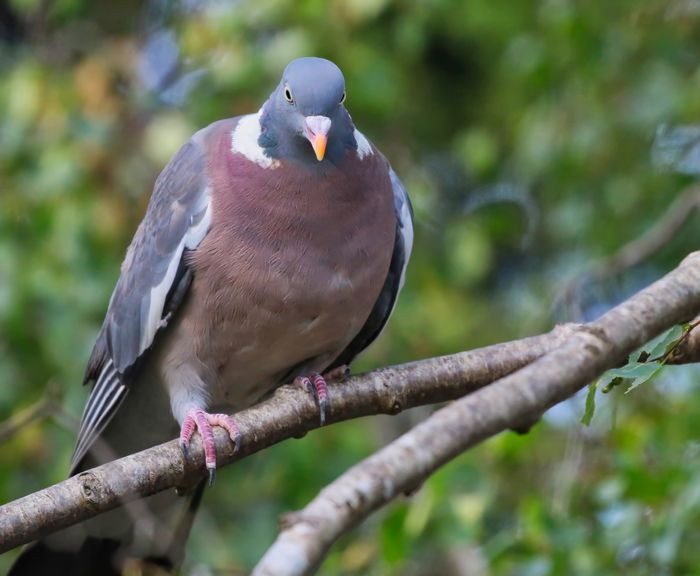 Wood Pigeon Animal Animal Themes Animal Wildlife Animals In The Wild Bird Branch Close-up Day Focus On Foreground Full Length Low Angle View Nature No People One Animal Outdoors Perching Plant Tree Vertebrate Zoology