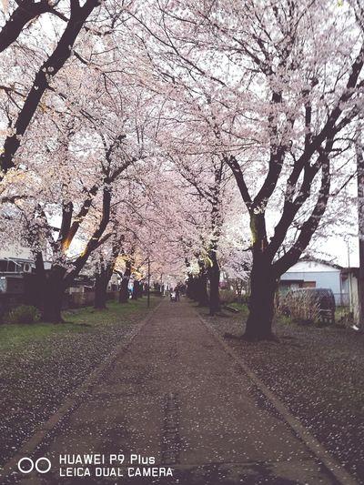 Springtime Nature Blossom Flower Grass Cherry Blossom Outdoors Beauty In Nature
