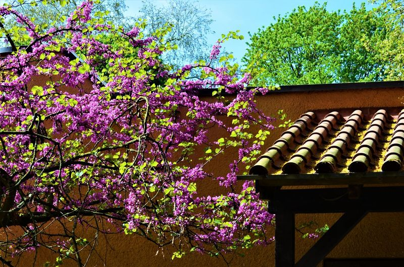 Low angle view of pink flowering tree against purple sky