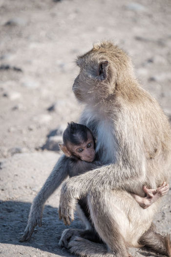 Adult monkey in the baluran national park Animal Family Animal Wildlife Animals In The Wild Baboon Baby Care Child Day Female Animal Group Of Animals Mammal Outdoors People Positive Emotion Primate Sitting Togetherness Two Animals Vertebrate Young Young Animal