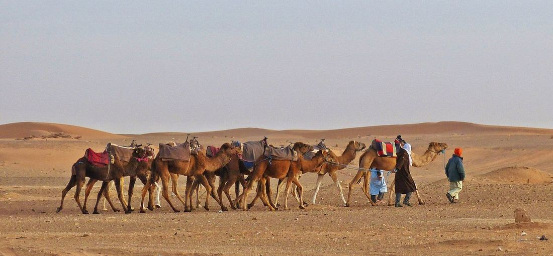 Drivers walking with camels at desert