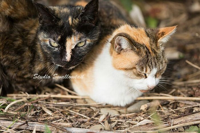 サビ猫、三毛猫