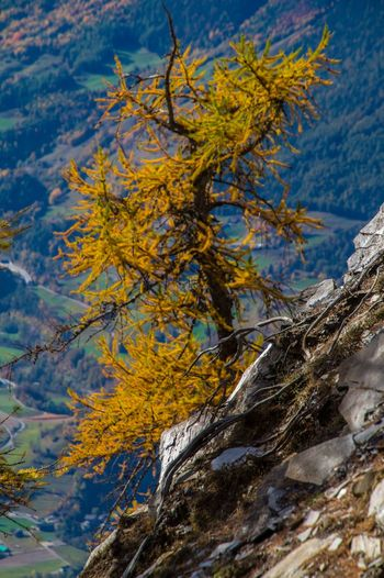 col of lien,valais,swiss Plant Tree Beauty In Nature Nature No People Growth Day Autumn Tranquility Outdoors Yellow Close-up Branch Sky Focus On Foreground Plant Part Environment Cloud - Sky Leaf Change Lichen