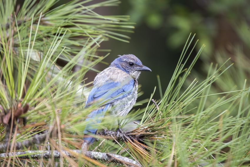 California Scrub jay (Aphelocoma californica) spotted outdoors California Scrub Jay California Scrubjay Animal Themes Animal Wildlife Animals In The Wild Bird Day Nature No People One Animal Outdoors Perching Western Scrubjay