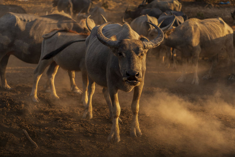 Buffaloes standing on land during sunset