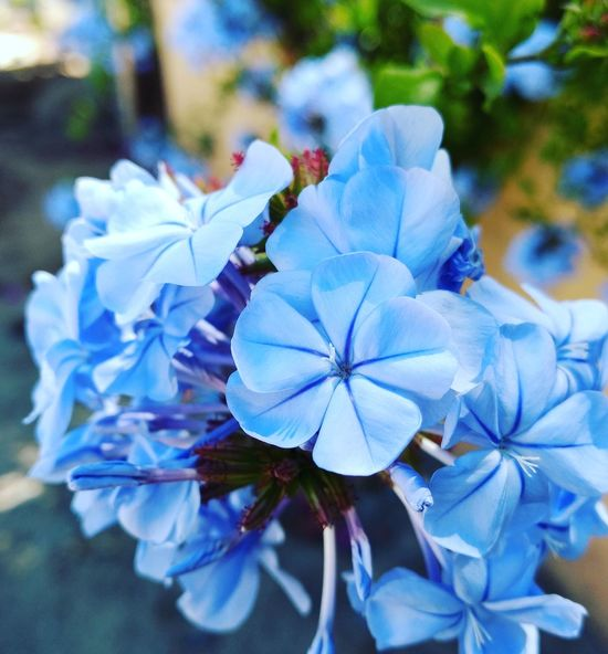 Blue Flowers Beauty In Nature Close-up Flower EyeEmNewHere EyeEmNewHere