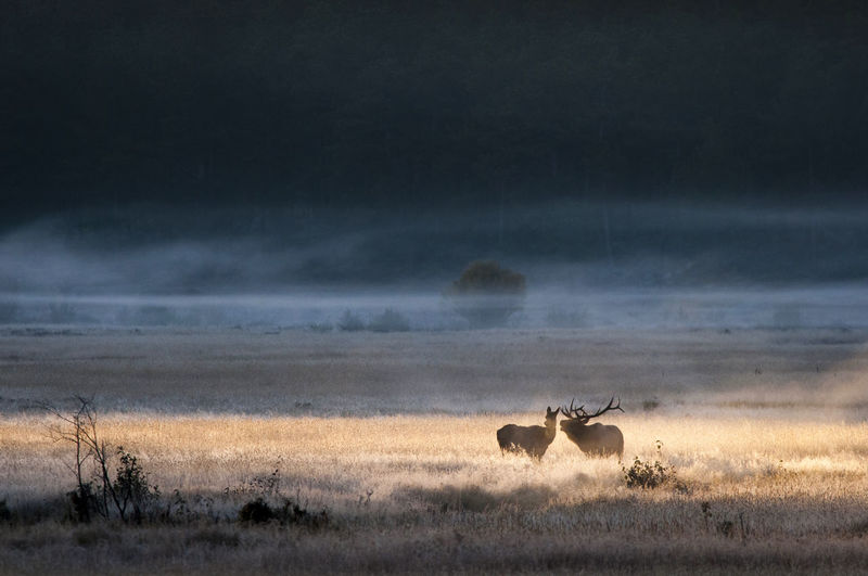 Elks on grassy field in forest during foggy weather