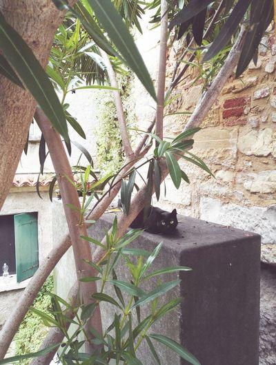 Asolo Italy Black Cat Cat Relax History