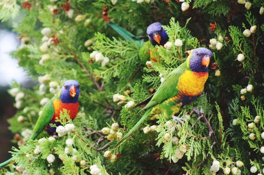 Lorikeets are too cute :) Lorikeet Australia Birds EyeEm Birds Wildlife Animals Bird Photography Beautiful Rainbowlorikeet Rainbow