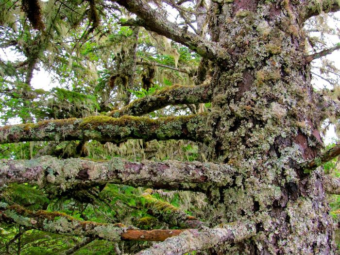 In the Tongass Alaska Branch Forest Lichen On A Tree Moss & Lichen Mossy Outdoors Rainforest Rough Tree Tree Trunk WoodLand The Great Outdoors - 2016 EyeEm Awards