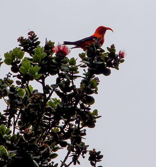 One of the most iconic Native Hawaii birds the ʻIʻiwi perched in a Hawaii Ohia tree Animal Themes Animal Wildlife Animals In The Wild Beauty In Nature Bird Bird In Branche Birds Of EyeEm  Birds_collection Birds🐦⛅ Clear Sky Day Growth Hawaii Hawaii Bird Hawaii Life Hawaiian Iconic IIwII Leaf Low Angle View Nature No People One Animal Perching Tree