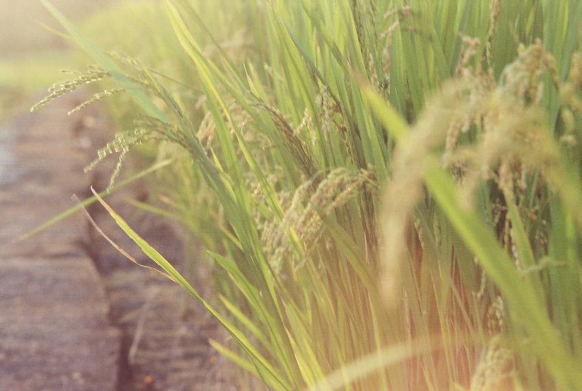 43 Golden Moments Rice Field Rice Farm Farm Life 35mm Film フィルム Film Is Not Dead Agriculture Farmland Nature Enjoying The Sun Sunset Sunlight Green Nature Golden Slumbers Showcase July Finding New Frontiers The City Light