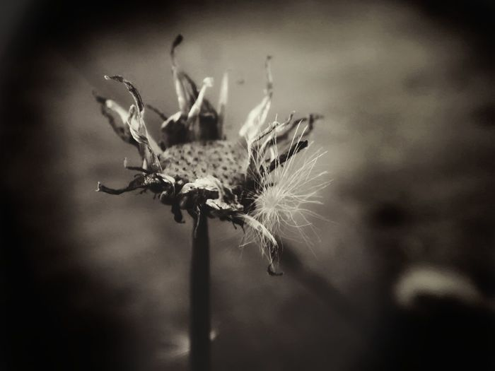 Finearts. Plant Life Death Flower Fineart Mobilephotography Sapia Weather Autumn EyeEm Selects Flower Head Flower Wilted Plant Uncultivated Thistle Springtime Close-up Plant Sky Plant Life Wildflower Thorn Stem Dead Plant