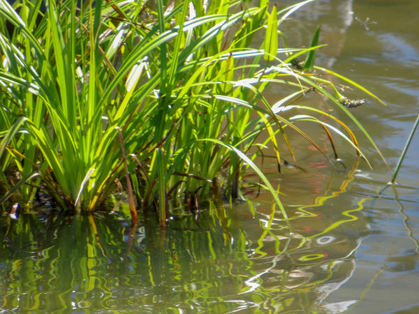 Grasses in a pond Ecosystem  Green Horizontal Murky Water Nature Plant Pond Reflection Sunny Tall Grasses Tanner Springs Park, Portland OR. Wetland Yellow Green Fresh Grasses Lazy Afternoon Lush Greenery No People Ornamental Grass Outdoors Pattern Reeds Refreshing Summer Water