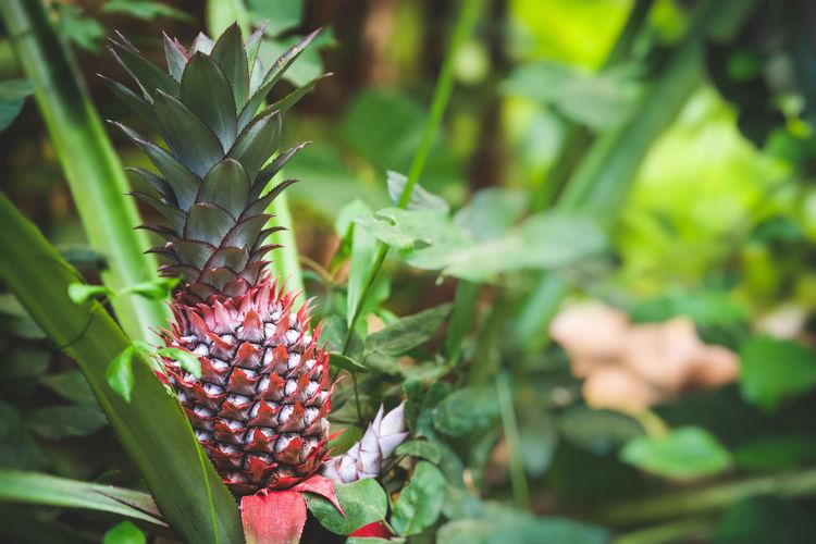 Growing pineapple. red pineapple or pink pineapple is a species of the pineapple. bali, inonesa