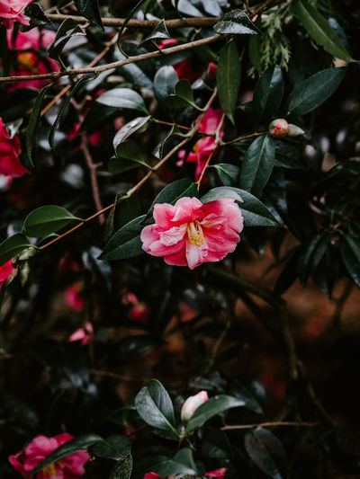 Pink Camelia flower with leaves Flower Plant Flowering Plant Beauty In Nature Growth Petal Freshness Fragility Vulnerability  Pink Color Flower Head Inflorescence Close-up Plant Part Leaf No People Nature Day Focus On Foreground Red Outdoors