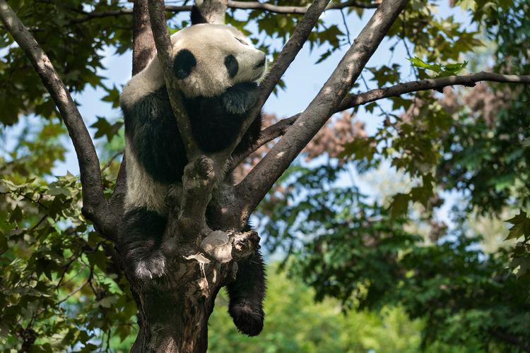 Low angle view of panda sleeping on tree