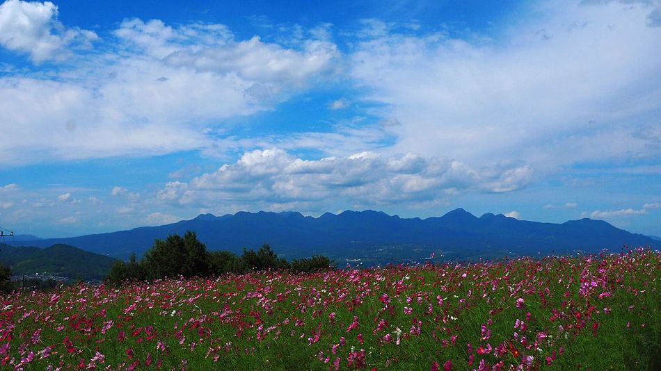 Cosmos Flower Blue Sky And White Clouds Landscape Blue Sky Mt,Haruna Beauty In Nature Takasaki City Japan