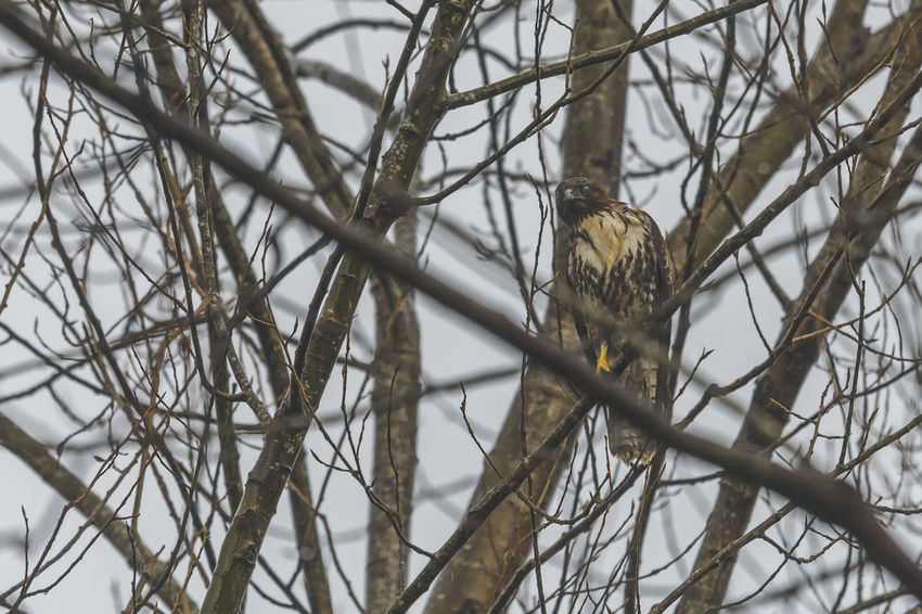 Bare Tree Bird Branch Low Angle View No People Perching Tree Locked Eyes Engaged Nature Outdoors Raptor Bird Of Prey Rainy Day Close-up Animals In The Wild Cold Temperature Rain One Animal