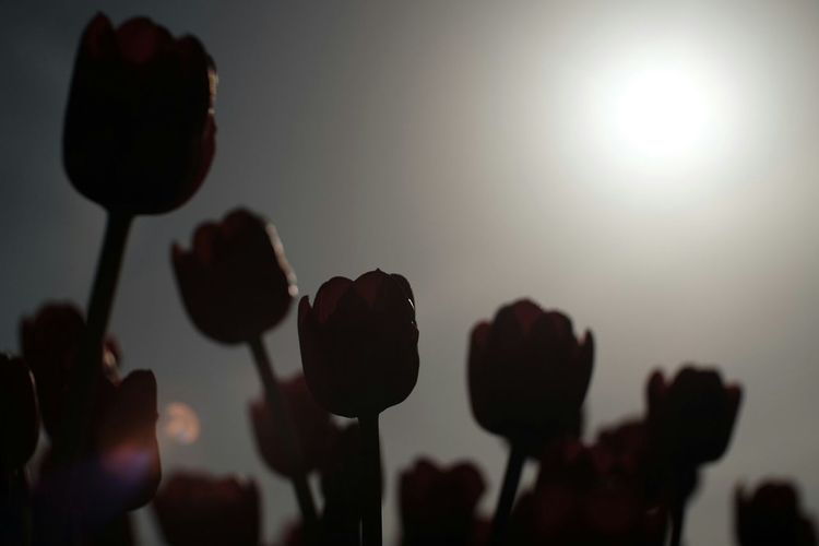 Close-up of silhouette tulips against bright sky
