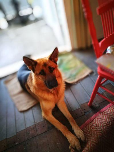 Cute dog Pets Dog Looking At Camera Sitting German Shepherd