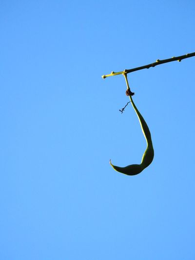 Low angle view of plant pod against clear blue sky